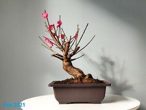 Prunus Mume Japanese Apricot Shohin Bonsai Tree, Red Flower in Winter, Rare
