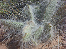 1 Cutting. Opuntia polyacantha erinacea, Mojave, Grizzly Prickly Pear long spine