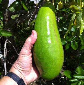 "AVOCADO Long Neck Live Fruit Tree (Wilson popenoe) 24""-36"""