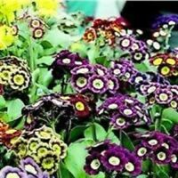 Primula - Auricula Mixed - 100 Seeds