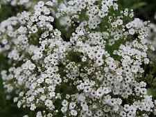 "Flower Seeds ""GYPSOPHILE BABYS BREATH"" (200 SEEDS) Beautiful White Flower"