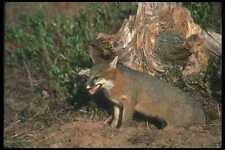 109029 Gray Fox Otoño A4 Foto Impresión