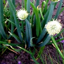 Lauch, WINTERHECKZWIEBEL Alium fistulosum, im Winter grün Lauch, mehrjährig
