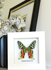 Taxidermy Framed insect Sunset moth in white frame home decor for sale WACRV