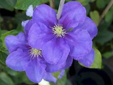 Clematis General Sikorski very large blue flowers June to September 1 litre pot