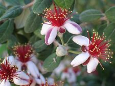 1 Feijoa Sellowiana Pineapple Guava Flower Fruiting Low Maintenance Evergreen