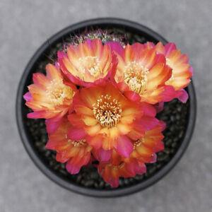 aa steinbachii.Parque Tunari cactus Succulent plants beautiful flowering Plants