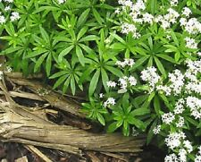 20 SWEET WOODRUFF ASPERULA Galium Odoratum Shade White Flower Seeds *Comb S/H