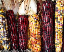 50 USDA Organic Painted Mountain Indian Corn seeds heirloom non-GMO maize