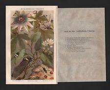Chromo-litografía 1890: extranjeros las cigarras. chicharra zirpe micrófono insectos