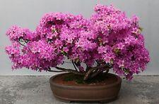 25 Mix Color Azalea Seeds - Rhododendron Simsii Satsuki Flower -Combine Shipping
