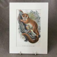 1896 Antique Print Black Eared Mouse Lemur Primate Monkey Victorian Original