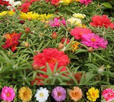 Portulaca Sundial Double Mixed Seed Pretty Annual Six Colours Low Growing
