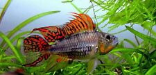 1 young breeding pair apistogramma cacatuoides triple red cichlid