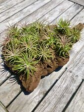 Air Plants (10 Pack Of Tillandsia Ionantha)
