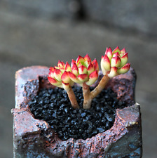 Echeveria supia Succulent live Plants Colorful Rare Easy Grow Potted Flower Gift