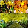 50 Samen von Cassia fistula, dem goldenen regen Baum, Baum der goldenen Dusch ,G