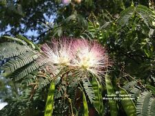 Mimosa Silk Floss Tree 100 Seeds BOGO Albizia julibrissin