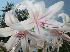 Crinum Lily, Exotica, jumbo, blooming-size bulb, NEW, Amazing!