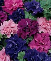 50 Double Pink Red Purple Mix Petunia Seeds Containers Hanging Baskets Seed 968