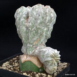 ASTROPHYTUM ONZUKA CRESTED GRAFTED pot 12 cm H 12,5 cm W 11 cm MaMa Cactus