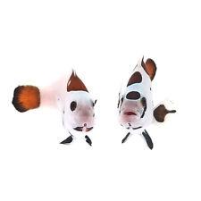 Sustainable Aquatics Mocha Storm Designer Clownfish Bonded Pair WYSIWYG