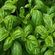 200Large Leaf Basil Seeds ragrant cooking essentials Ocimum Basilicum HerbsTT086