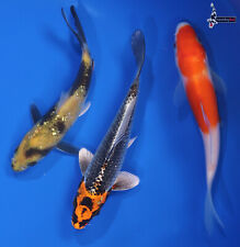 """Lot of (3) 4 to 5"""" ASSORTED Imported Koi live fish standard fin NDK"""