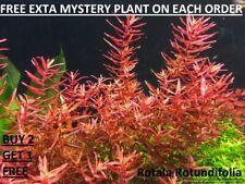 Rotala Rotundifolia Red Live Aquarium Plant Aquatic Planted tank Buy2Get1Free