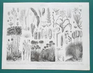 BOTANY Papyrus Sugar Cane Rice Bamboo Corn Peanut Plants - 1870 Antique Print