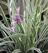 VARIEGATED SOCIETY GARLIC Talbaghia violacea edible flowers plant in 100mm pot