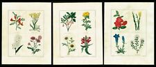 Chrysanthemum, Japanese Quince, Hand-Colored Botanical Engravings - Maund 1826