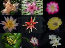 "Hatiora / Rhipsalidopsis / Osterkaktus "" Cheyenne Spirit """