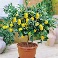 10pcs Lemon bonsai lemon Tree Fruit Tree Garden Courtyard fruit plantsJCAU