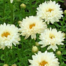 Leucanthemum Victorian Secret 'Shasta Daisy' Large Plug Plants x 3 Perennial