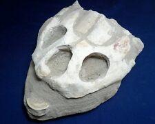 Large Fossil Turtle Skull in Matrix.  Plus bonus vertebra