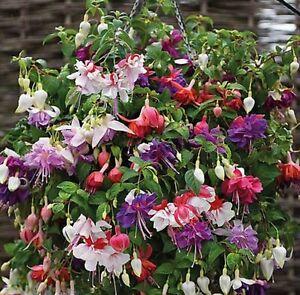 6 Giant Trailing Fuchsia Mixed  Hanging  Basket Patio Plug Plants