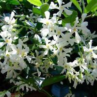 50PCS White Climbing Jasmine Seeds Fragrant Plant Garden Decor NEW
