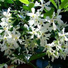 50PCS White Climbing Jasmine Seeds Fragrant Plant Garden Decor NEW