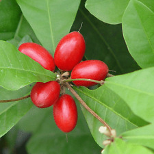 Miracle Fruit berry tree plant 1x5cm tall tree - Synsepalum dulcificum