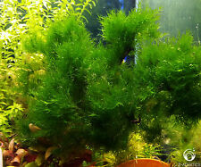 Giant Fissiden (Rare) - Live Aquarium/Fish Tank Shrimp Plant Moss