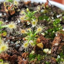 """karnivoren Drosera Capensis /""""Giant forma/"""" piante carnivora insettivora"""