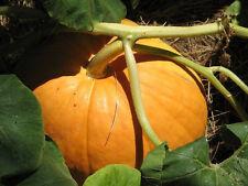 25 BIG MAX (100 Pound!) PUMPKIN Cucurbita Maxima Seeds