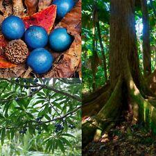 BLUE QUANDONG (Elaeocarpus grandis) SEEDS 'Bush Tucker Food'
