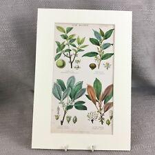 Antique Botanical Print Original Hand Coloured Gutta Percha Gum Plant Fruit