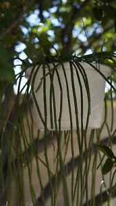 4 RAPUNZEL PLANT SARCOSTEMMA VIMINALE SUCCULENT PLANT CUTTINGS 4-8 INCHES LONG!!