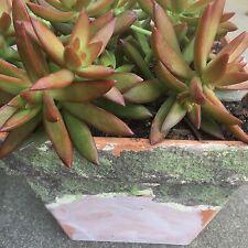 Sedum Adolphi 'FIRESTORM' Hardy perennial succulent small cutting.