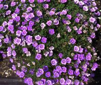 CUP FLOWER PURPLE ROBE Nierembergia Hippomanica - 1,250 Bulk Seeds