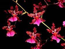 "Oncidium Sharry Baby 'Red Fantasy' Wonderfully fragrance of Chocolate. 2.5"" Pot"
