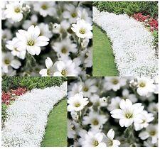 100+ Snow in Summer Cerastium Flower Seeds / Deer Resistant Perennial